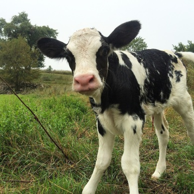 Image result for newborn calf